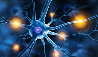 Die Hauptaufgabe des vegetativen Nervensystems besteht in der Aufrechterhaltung des inneren Gleichgewichts (Homöostase)